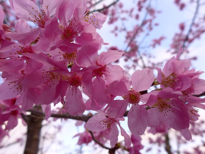 cherry-blossoms-888624_1280