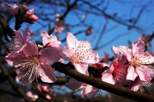 plum-blossom-283115_640