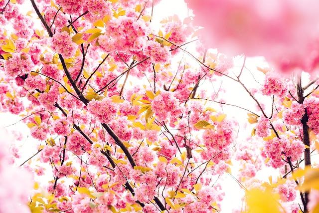 cherry-blossoms-801973_640