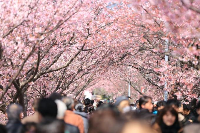 cherry-tree-984545_1280