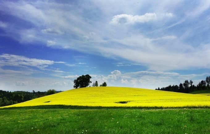 field-of-rapeseeds-502972_1280