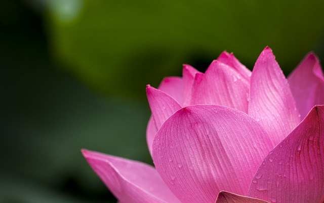lotus-614494_640 (1)