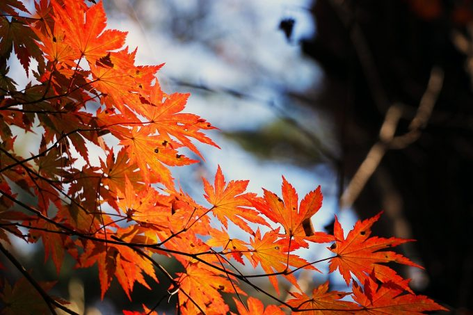red-maple-leaf-507545_1280