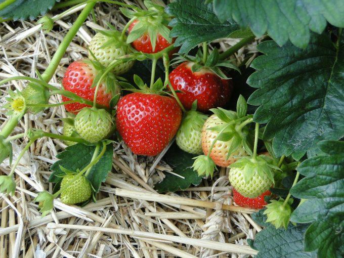 strawberries-196798_1280