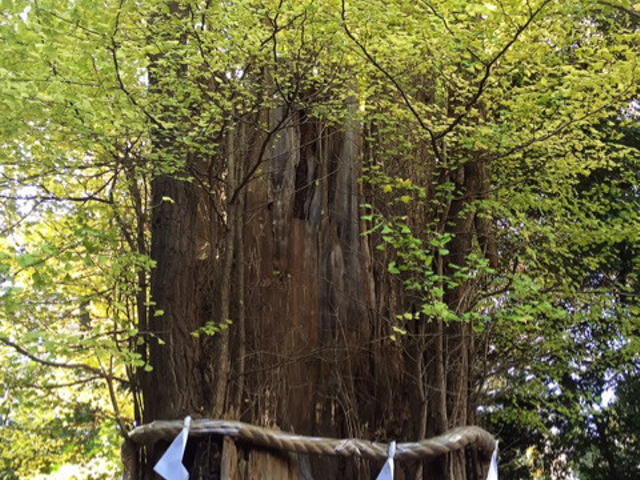 樹齢千年の大銀杏